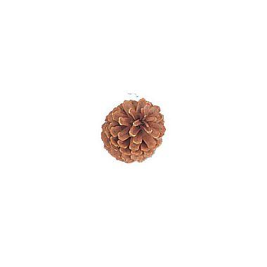 Small Natural Pine Cone 2″