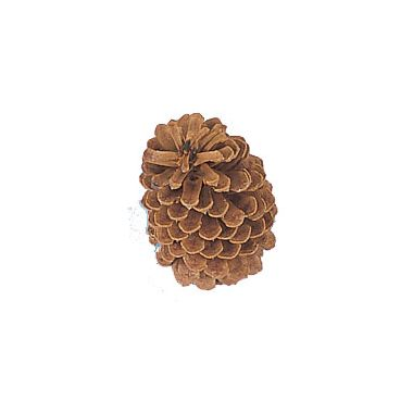 Large Natural Pine Cone  5″